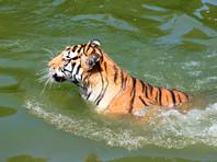 В китайском зоопарке тиграм скормили живого осла на глазах у посетителей (ВИДЕО)