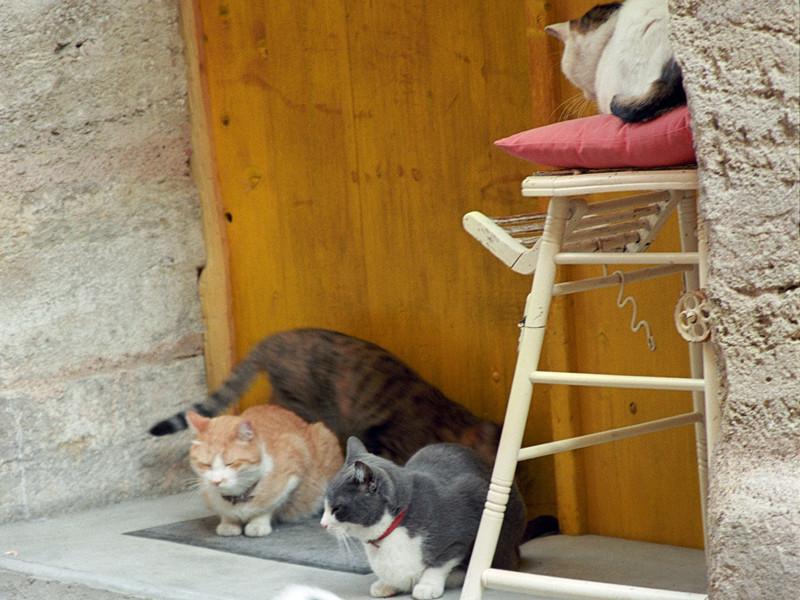 На южном побережье Франции в небольшом городке Сен-Пьер-ла-Мер в департаменте Од почти 200 кошек, как уличных, так и домашних, в течение месяца погибли от отравления неустановленным ядом