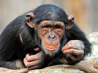 Апелляционный суд Нью-Йорка отказался уравнять в правах шимпанзе и человека