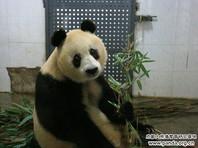 В Китае скончалась одна из самых старых в мире самок большой панды