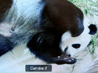 Во Франции впервые родились детеныши панды