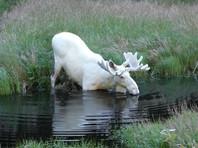 В Швеции сняли ВИДЕО с редким белым лосем