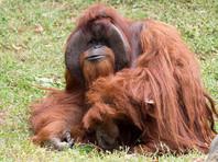 В США умер 39-летний орангутан Чантек, овладевший американским языком жестов