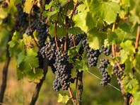 В пещере на Сицилии нашли немного 6000-летнего вина