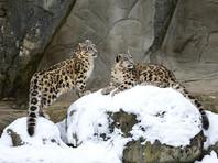 Снежный барс исключен из списка видов, находящихся под угрозой вымирания