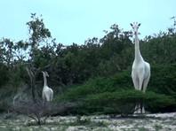 В Кении редких белых жирафов сняли на ВИДЕО