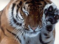 В США усыпили амурского тигра, привезенного из России