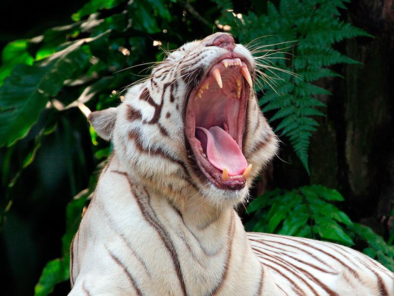 В Индии белые тигрята загрызли пришедшего их покормить сотрудника национального парка