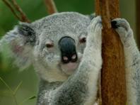 В Австралии спасают коал: любвеобильную самку спустили краном с дерева, еще одного зверька сняли с буровой установки (ВИДЕО)