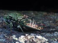 """Эксперты провели тщательный анализ аудиозаписей """"атак"""", которые были переданы им американской стороной, и пришли к выводу, что записанные на них звуки очень схожи со звуками, """"которые издают некоторые виды насекомых, в частности сверчки и цикады"""""""