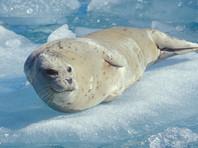 На Аляске застрявшего на ВПП 200-килограммового тюленя вывезли на санках с территории аэропорта