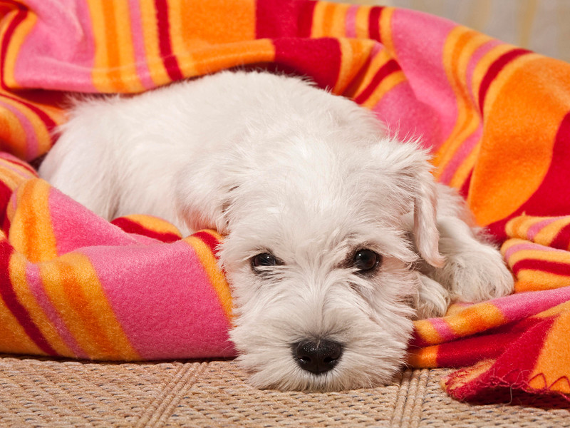 В Италии суд впервые приравнял к отпуску по болезни время, потраченное хозяйкой собаки на уход за своим прихворавшим питомцем