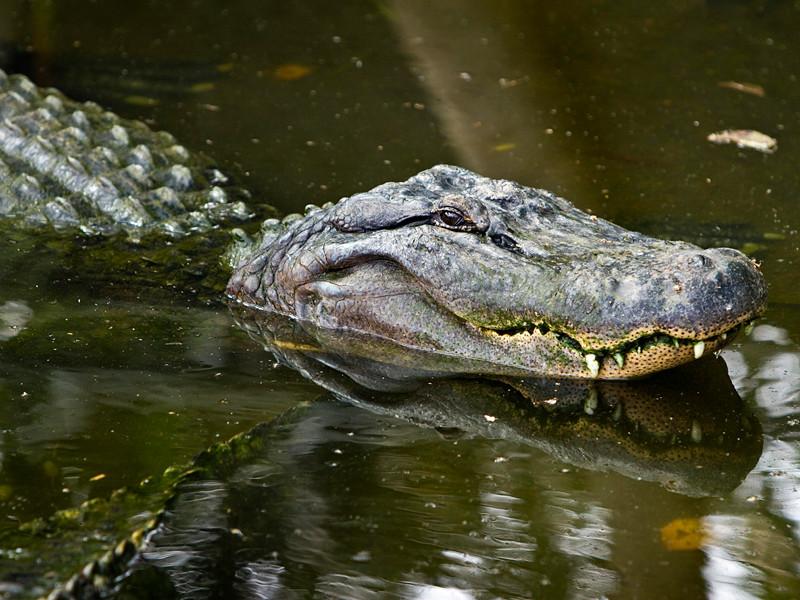 На севере Австралии полиция подозревает крокодила в убийстве 79-летней пациентки с деменцией Анны Кэмерон, который ушла из дома престарелых в лес и заблудилась