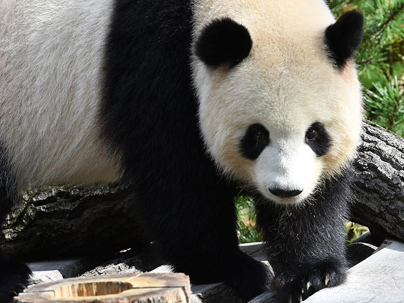 Гуляющую задним ходом панду в Берлинском зоопарке хотят излечить сексом