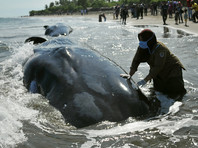 В индонезийской провинции Ачех специалистам по охране окружающей среды при помощи волонтеров удалось спасти шесть из десяти китов, застрявших на мелководье