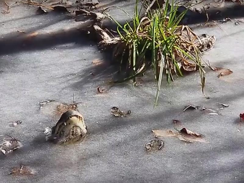 В парке Shallotte River Swamp оттаяли аллигаторы, вмерзшие в лед. Об этом радостном событии сообщили представители парка