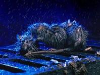 Париж после разлива Сены заполонили полчища крыс