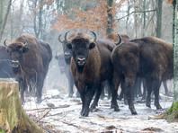 В Польше вольнолюбивая   буренка загуляла с дикими зубрами  (ФОТО)