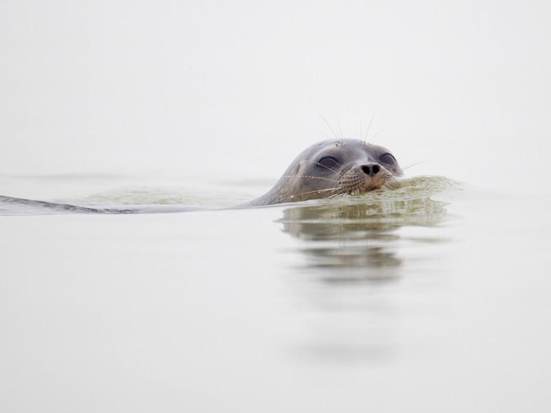 На финском озере Сайма добровольцы снова возведут искусственные сугробы для спасения бельков
