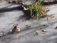 В Северной Каролине потеплело, и в водоемах оттаяли скованные льдом аллигаторы (ФОТО, ВИДЕО)