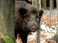 Министр сельского хозяйства ФРГ собирается обсудить на встрече с экспертами Немецкого крестьянского союза (DVB) возможные меры по предотвращению африканской чумы свиней. Там требуют отстрела 70% диких кабанов