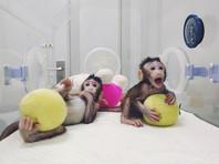 На пути к лечению рака и возможности клонирования человека:  ученые в Китае совершили прорыв в клонировании  обезьян