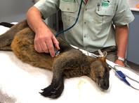 Сиднейские полицейские поймали кенгуру, скакавшего из гольф-клуба в консерваторию через Харбор-Бридж (ВИДЕО)