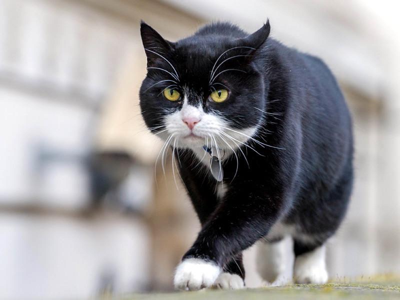 Британский МИД запретил сотрудникам подкармливать штатного кота-мышелова