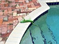 """Во Флориде низкие температуры привели к """"игуанопаду"""" (ФОТО)"""