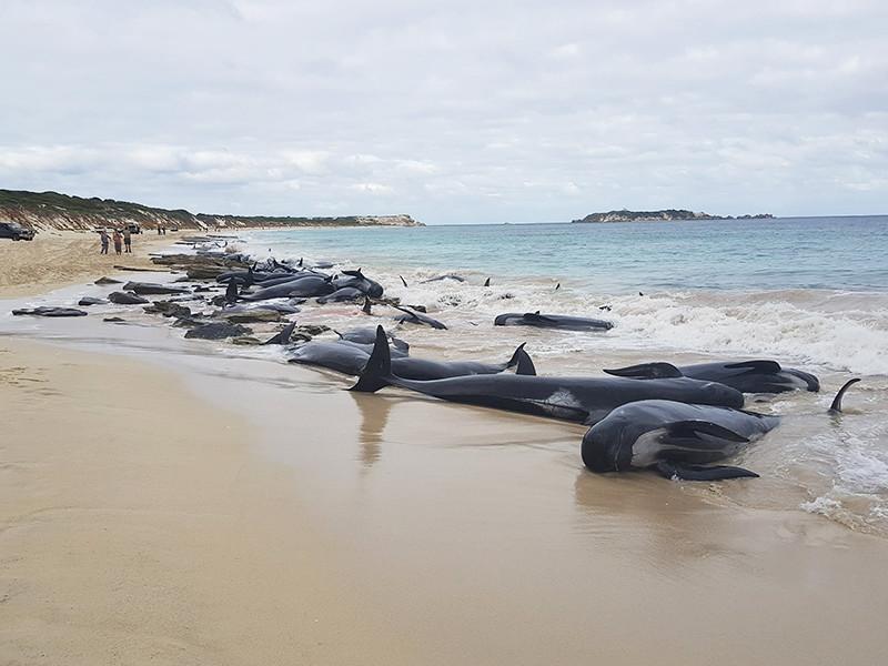 """В Австралии на берег выбросились более 150 черных дельфинов (ВИДЕО)"""" />"""