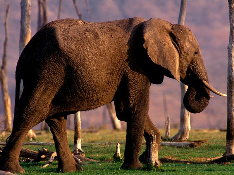 Охотник из России застрелил редкого слона в Зимбабве