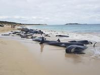 В Австралии на берег выбросились более 150 черных дельфинов (ВИДЕО)