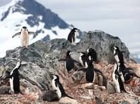 В Антарктиде пингвины  растащили оборудование латвийских исследователей