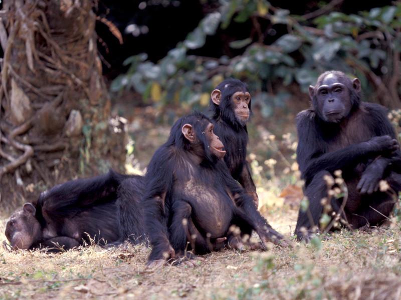 """Ученые раскрыли тайну начала загадочной четырехлетней """"гражданской войны"""" между шимпанзе в Танзании"""" />"""