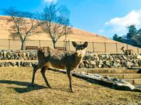 В японском парке из-за кусачих оленей ввели правила кормления животных