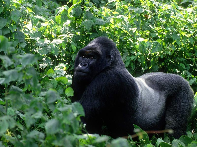"""Популяция  горилл  к концу века может сократиться на 80%, бьют тревогу ученые"""" />"""