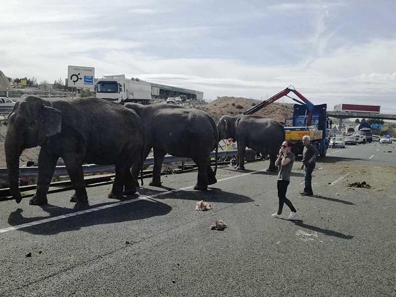 Накануне днем на юго-востоке Испании в результате ДТП разбился грузовик, перевозивший пять цирковых слонов. Одно животное погибло, двое получили ранения