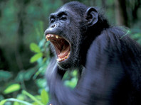Шимпанзе в парке Гомби