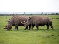 Ученые поделились радостью - им удалось искусственно оплодотворить самку белого носорога