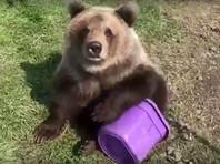 В Канаде наказали  зоопарк, свозивший медведицу  в  кафе  поесть мороженого (ВИДЕО)