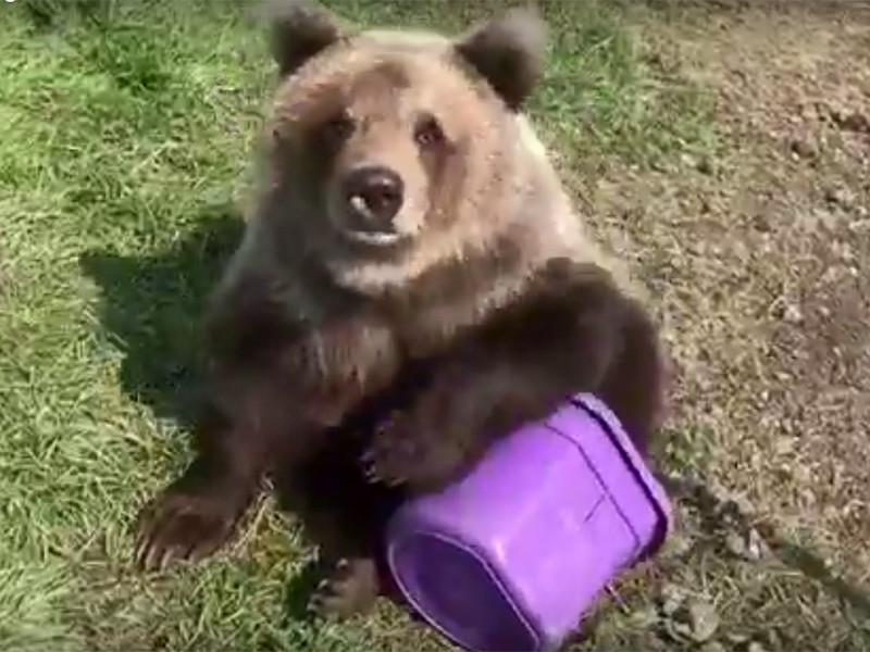 Власти канадской провинции Альберта выдвинули обвинения против частного зоопарка, который выложил в интернет видео автопрогулки своей подопечной - медведицы Беркли за мороженым