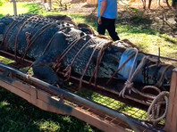 В Австралии на подходах к городу пойман гигантcкий гребнистый крокодил
