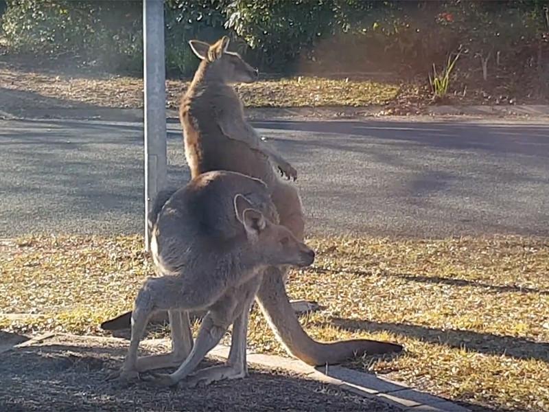 Десятки тысяч голодных кенгуру заполонили крупные города Австралии в поисках пропитания