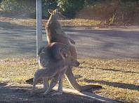 Десятки тысяч голодных кенгуру заполонили крупные города Австралии в поисках пропитания (ФОТО, ВИДЕО)