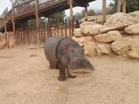 В Библейском зоопарке в Иерусалиме умерла самая старая бегемотиха в мире