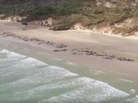 """В Новой Зеландии на берег выбросились около 150 черных дельфинов. Половина погибли, остальных пришлось """"гуманно"""" усыпить"""
