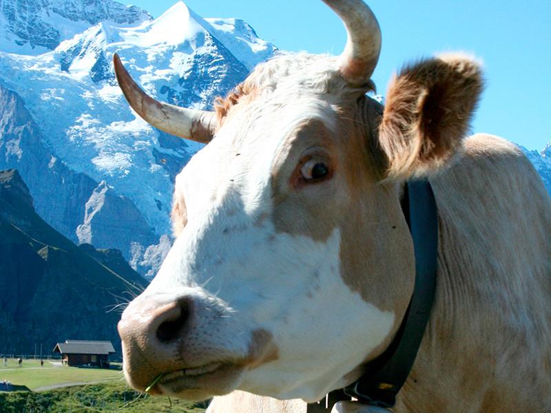 Швейцарцы на референдуме решают вопрос о выплате субсидий крестьянам, не желающим удалять рога у своих коз и коров