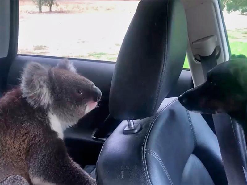 В Южной Австралии произошел забавный случай: коала проник в автомобиль, чтобы немного охладиться. Сумчатому настолько хотелось остаться в прохладном месте, что его не остановило присутствие собаки, а затем и человека