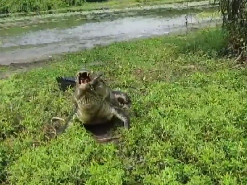 На одной из рек в австралийской Северной территории братья-рыбаки Даг и Дэниел из Дарвина на спиннинг выловили метровую рыбу (латес или баррамунди) и пока вытягивали ее, она сама стала приманкой для четырехметрового крокодила