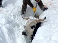 В США спасают заметенный снегом скот, задействован даже экскаватор (ФОТО, ВИДЕО)
